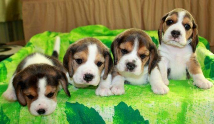 Четыре щенка бигль на зеленом полотенце.