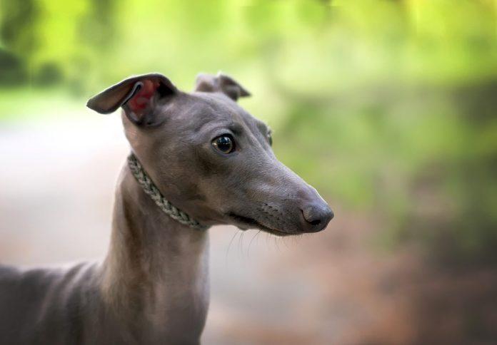 Левретка порода собак.