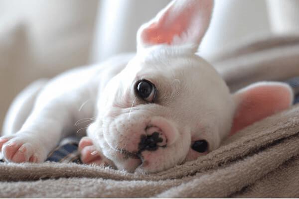 Содержание щенков французского бульдога в домашних условиях