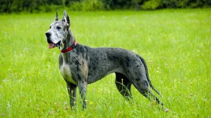 Большие породы собак, которые подходят для дома