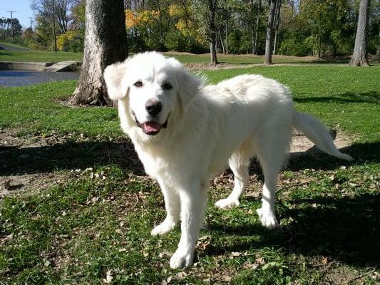 Большой пиреней; большие породы собак