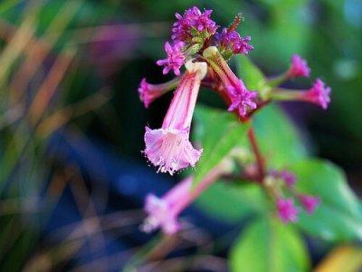 propiedades medicinales hierba del cáncer