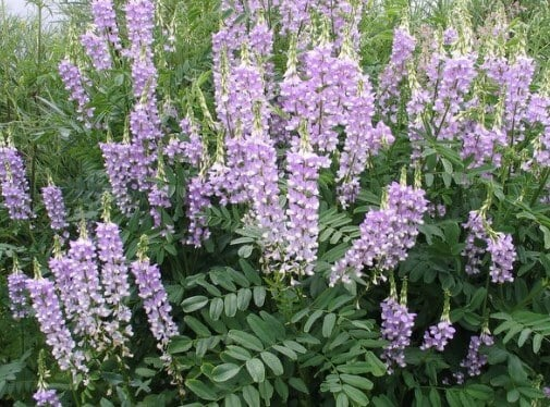 flores de galega