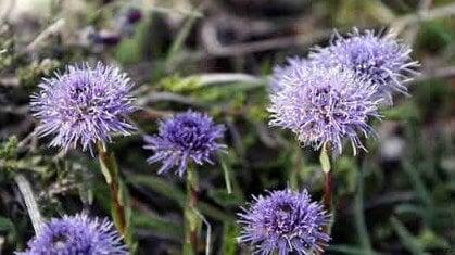 flores Globularia repens