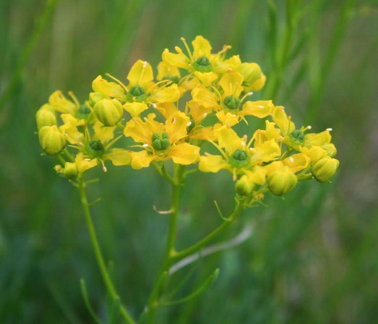 Flor de la ruda