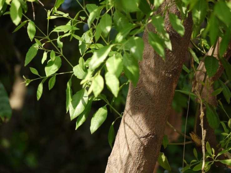 propiedades medicinales del sándalo