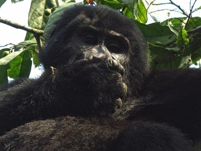Gorilla Profil