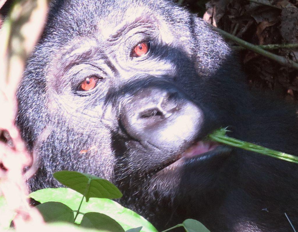 Gorilla mit braunen Augen beim Kauen