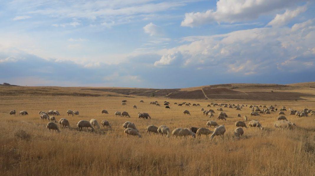 Schafe auf einer kargen Weide