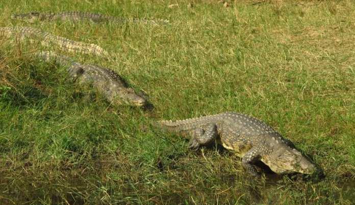 Krokodile in Uganda