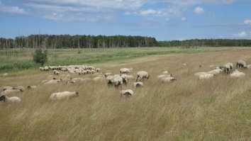 Schafe im hohen Gras