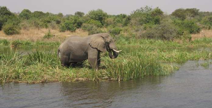 Elefant im Murchison Falls National Park Ugada