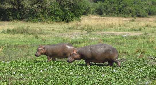 Nilpferde im Murchison Falls National Park