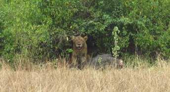 Löwe im Ishasa-Nationalpark in Uganda