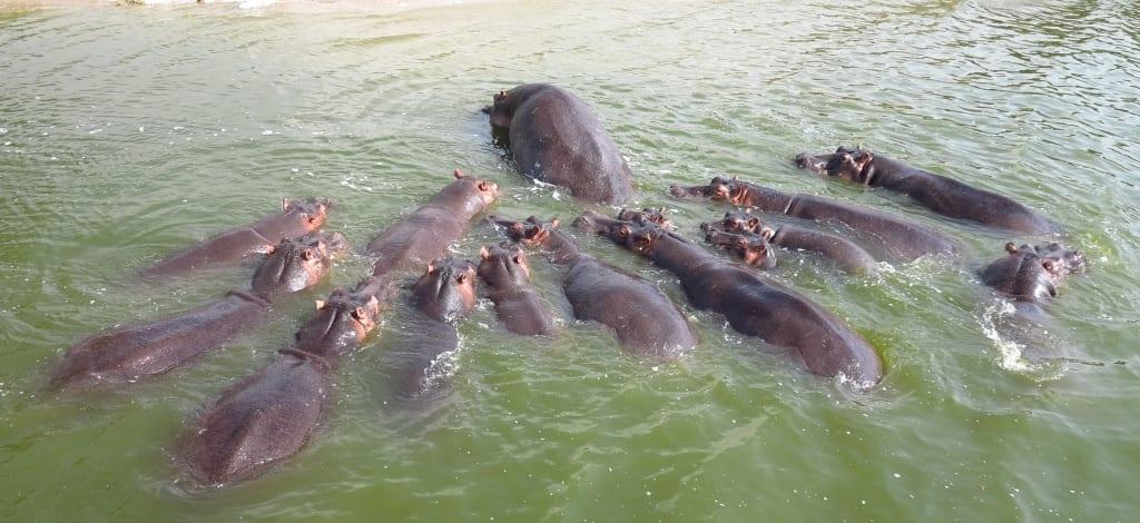 Hippos im Ishasa-Nationalpark in Uganda
