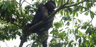 Gorilla im Bwindi-Nationalpark in Uganda