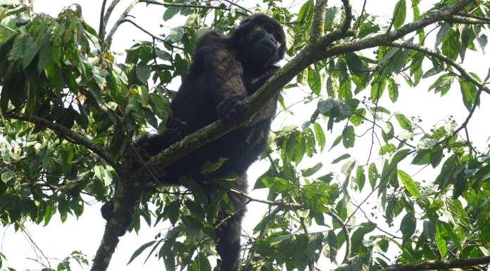 Gorilla im Bwindi-Nationalpark in Uganda
