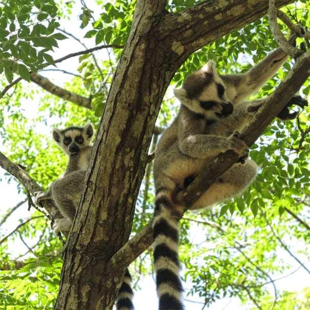 Kattas in den Bäumen