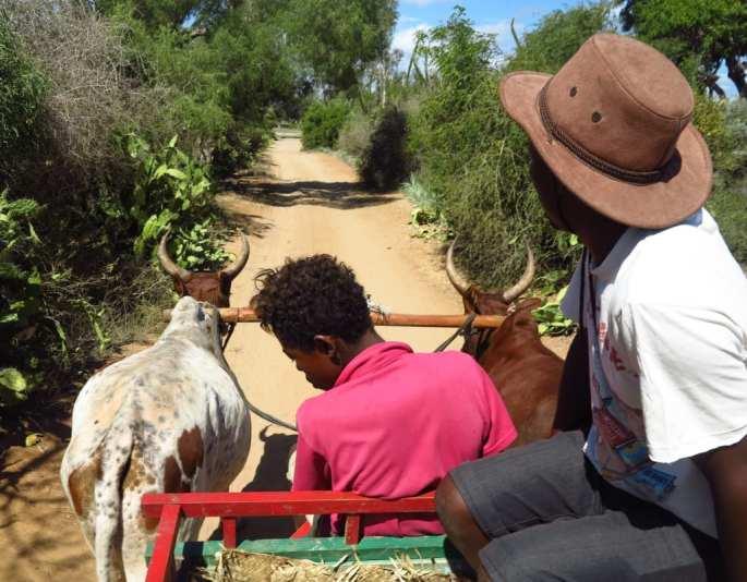 Zebukarren in Madagaskar