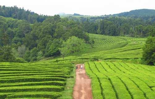 Teeplantagen auf Sao Miguel auf den Azoren