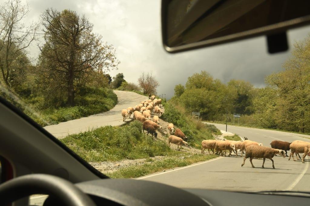 Schafe queren Straße auf Kreta