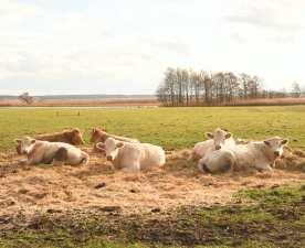 Weiße Kühe auf einer Wiese
