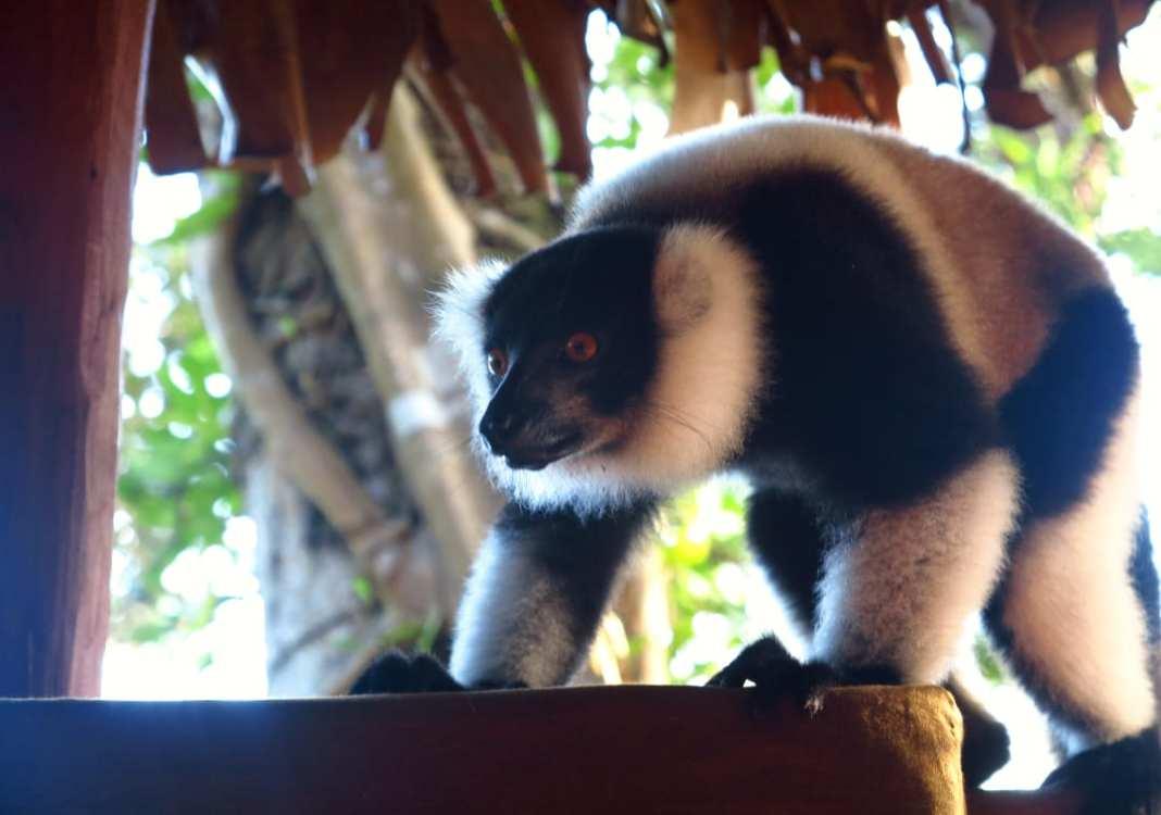 Lemur auf einem Balkon im Dschungel