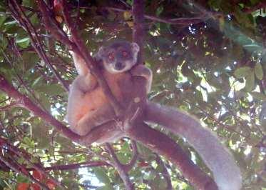 Lemur sitzt im Baum