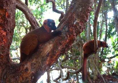 Brauner Lemur auf dem Baum