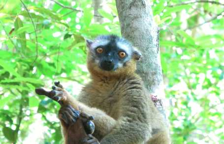 Lemur mit braunem Fell