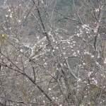 3月上旬、一足はやく奈良の吉野山で桜を見物