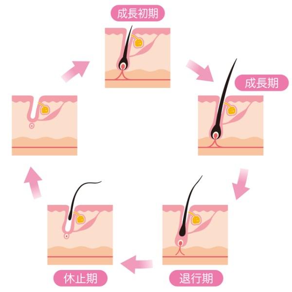 ヒゲの毛周期の仕組み
