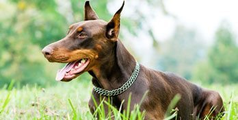 brown_doberman