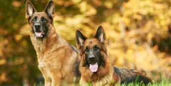 Miami German Shepherd Protection Dogs