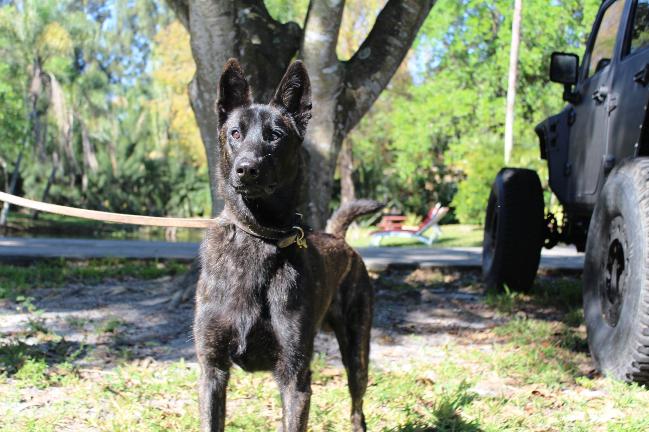 A Brief History Of The Dutch Shepherd Dog