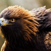 Eagle's Hunt