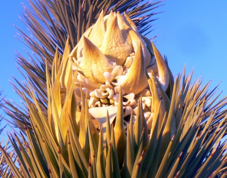 3-1-13--JoshuaTree-flower