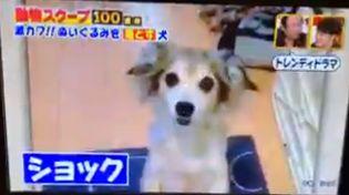 モコナモドキ ぬいぐるみを落とす犬 動物スクープ100連発