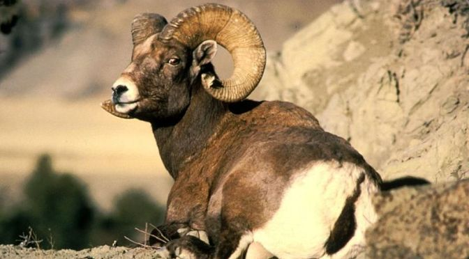 Wild Sheep Foundation-Gray Thornton (PODCAST)