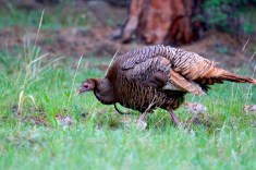 A super rare cinammon color phase Merriam's bearded hen the author photographed in Colorado.