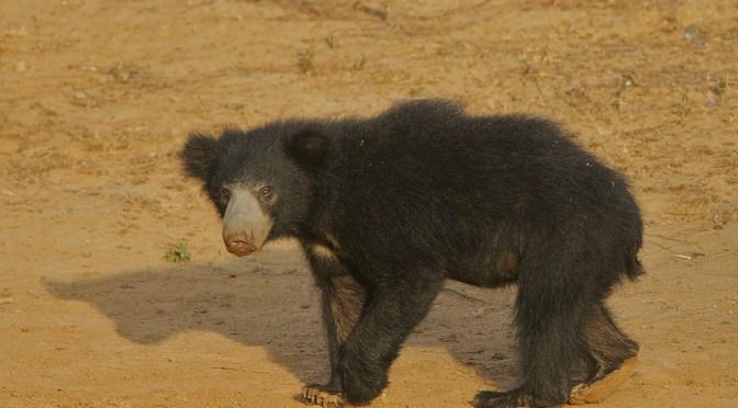 Don't Laugh At A Sloth Bear