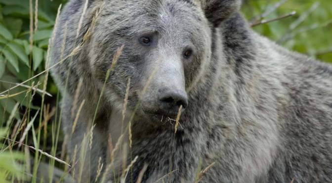 Growing Threats To Bear Conservation (Podcast)