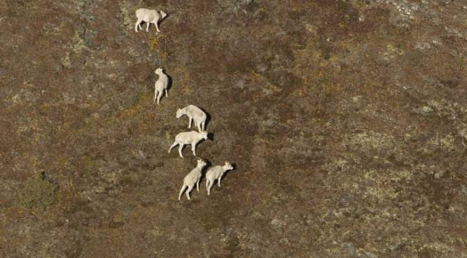 Wild Sheep Pandemic Spreads
