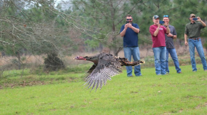 Conservation In Action: Angelina County Eastern Turkey Release
