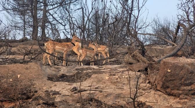 Wildfires Impacting Jerusalem Area-(Report On Persian Fallow Deer/Zoo)—UPDATE!