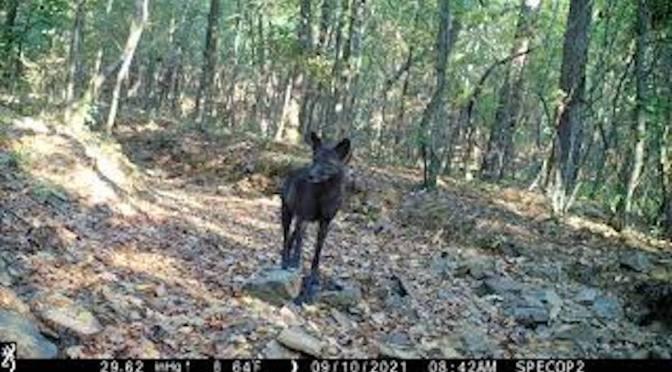 Rare Black Coyote (Video)