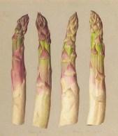 Eliot Hodgkin, White Asparagus, 1961.