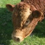 bull at twin friendly farm holidays cornwall uk