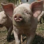 piglet family friendly farm holidays cornwall