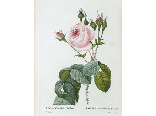 Botanical illustration by P.J. Redouté © rmn